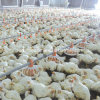 Chicken automatico House Equipment per Broiler