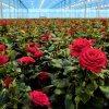 Wesentliches Fertilizer für Rose