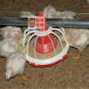 Aves domésticas Project Package Solution Provider para Chicken Prodcution