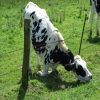 穏やかな鋼鉄有刺鉄線を囲っている牛