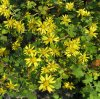 Extrait sauvage de fleur de Chrysanthermum, Buddleoside10%, numéro 480-36-4 de CAS