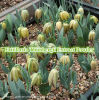 工場供給のFritillariaのThunbergiiのエキスの粉