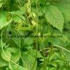 100% natürliche Gynostemma Pentaphyllum Auszüge