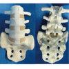Het Model van de Anatomie van het Skelet van de ruggewervel met Sacrum voor Demonstratie