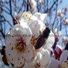 Tablettes naturelles de pollen d'abricot