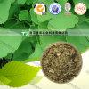 Folha natural pura Yin Xing YE do Ginkgo da medicina da erva de 100%