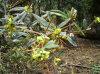 10:1 100% выдержки Aristata Berberis Natura верхнего качества