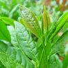 Выдержка L-Theanine зеленого чая качества еды портивораковый