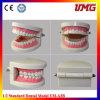 새로운 치과 가르침 연구 결과 성숙한 표준 Typodont 데몬스트레이션 이 모형