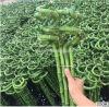 Glücklicher Bambus des Bambus-45cm Spiralchinese Fengshui, glücklicher Bambus, Dracaena Sanderiana, Pflanzen