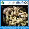 Fournisseur d'or pour le gingembre frais chinois