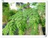 Poudre normale d'extrait de lame de moringa oleifera