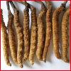 Extrato do Mycelium de Supplyment Cordyceps Sinensis do alimento natural