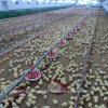Poultry automatico Feeder per Broiler Chicken