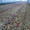 Conducteur automatique de volaille pour le poulet à rôtir
