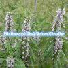 Естественный порошок выдержки травы Motherwort