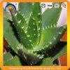 プラントExtract Aloe Barbadensis 葉ジュースの粉
