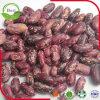Пурпуровые светлые красные Speckled фасоли почки
