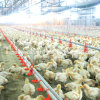 Complete automatico Set Poultry Equipment per Poultry Farming House