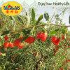 Lycium Goji эффективной еды мушмулы красный высушенный