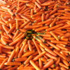 Neues Crop Fresh Carrot in Highquality