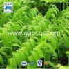Extrait normal d'Odoratum de Polygonatum de 100%