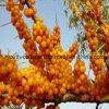 Tablettes de pollen de fleur de Seabuckthorn, nourriture biologique