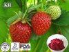 Erdbeere-Auszug-erhellende Augen und Ernährung der Leber