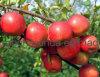 FUJI rojo fresco Apple