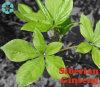 Sibirischer Ginseng-Auszug/Acanthopanax Senticosus Auszug/Eleutheroside