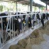 Headlock da vaca da exploração agrícola com a tubulação de aço Hot-Galvanized de uma espessura de 3 milímetros