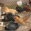 Maille de cage de fil/oiseau de poulet/compensation de fil hexagonale galvanisée