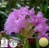 Het Uittreksel van het Blad van Banaba: Corosolic Acid 1%~10% door HPLC