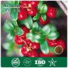 Cranberry Organic Extract Powder como Edulcorante