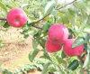 Estrella Apple roja