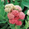 Rhodiola Rosea Auszug Salidroside CAS Nr. 10338-51-9