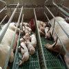 Пер хавроньи клетей свиньи оборудования Swine порося порося