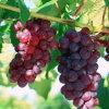 Kundenspezifischer Kennsatz-Chlormequat-Pflanzenwachstum-Regler