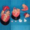 إنسانيّة قلب علم طبيّة يعلّب تجهيز نموذج ([ر120102])