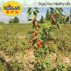 Ягода Goji натуральных продуктов Lbp мушмулы красная высушенная