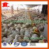 Wanne Feeding System für Poultry Farming