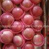 Buena calidad de la nueva cosecha de Qinguan fresco Apple