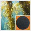Fertilizante orgânico puro solúvel do extrato da alga do pó