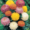 Порошок выдержки цветка Chrysanthemun/Flos Chrysanthemi Indici
