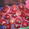 Nuevo Apple rojo chino fresco con el cartón