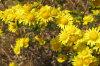 Wilder Chrysantheme-Auszug Buddleoside CAS Nr. 480-36-4