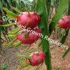 Prezzi dei regolatori di crescita della pianta/ormone di pianta