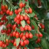 Здоровая еда мушмулы естественная - король ягоды Goji