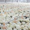 Matériel de ferme avicole de qualité d'ensemble complet pour le poulet