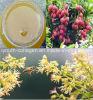 La miel superior, miel orgánica, pura del lichí, ningunos antibióticos, ningunos pesticidas, ningunas bacterias patógenas, prolonga la vida, comida sana